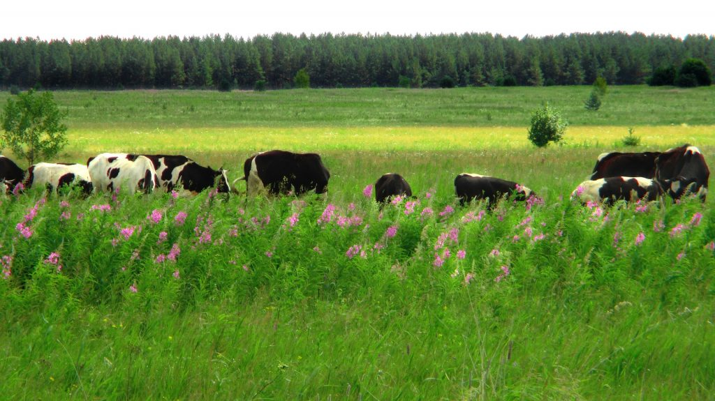 Image of a field of cows grazing among wild flowers.